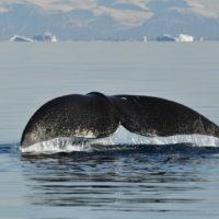 Интересные факты о китах, особенности, характер, польза для экосистемы