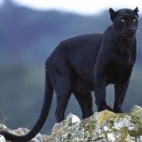 Интересные факты о пантерах, описание, образ жизни и среда обитания, роль в биосфере