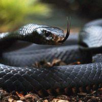 Интересные факты о черной мамбе, описание, образ жизни, размножение, роль в экосистеме