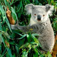 Интересные факты о коалах, особенности, образ жизни, влияние на природу