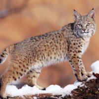 Интересные факты о рыси, особенности, характер, роль в биосфере