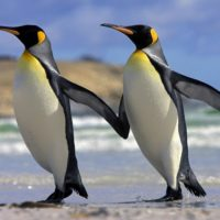 Интересные факты о пингвинах, происхождение, среда обитания, роль в биосфере