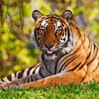 Интересные факты о тиграх, особенности, поведение, размножение