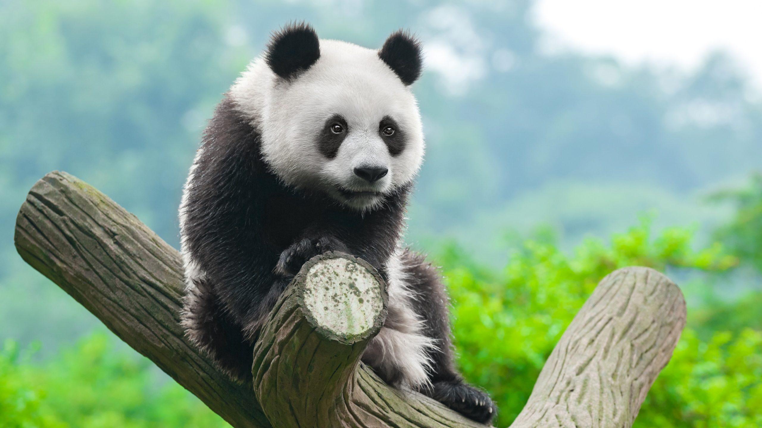 Интересные факты о пандах, описание, поведение, роль в экосистеме