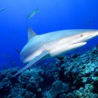 Интересные факты об акулах, особенности, образ жизни, влияние на природу