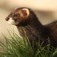 Интересные факты о хорьках, внешний вид, поведение, роль в биосфере
