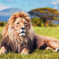 Интересные факты о львах, особенности, образ жизни, питание