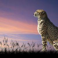 Интересные факты о гепардах, внешний вид, распространение, образ жизни, статус популяции