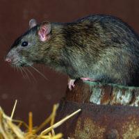 Интересные факты о крысах, внешний вид, характеристика, значение