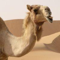 Интересные факты о верблюдах, виды, образ жизни, влияние на природу