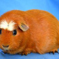 Интересные факты о морских свинках, особенности, внешний вид, характер